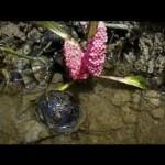 Los caracoles manzana se aproderan del delta del Ebro