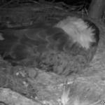 ¿Qué ocurre dentro de un nido de águila?