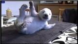 El oso polar Siku y su familia