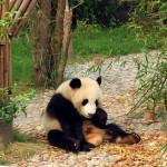 Panda en China: especie amenazada