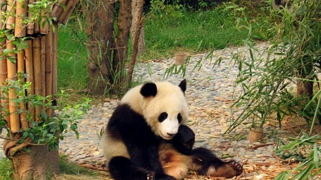 Panda en China: especie amenazada