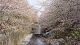 En directo – Hanami, festival del cerezo (sakura) en Japón